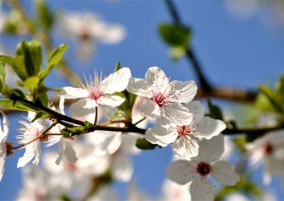 fleurs de Bach cherry Plum - Prunier