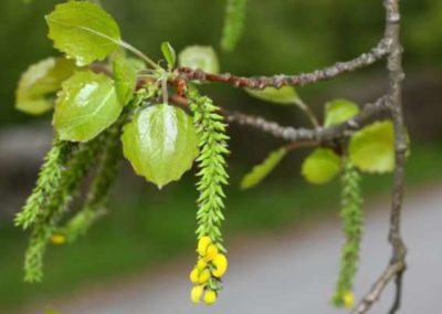 fleurs-de-bach-aspen- le Tremble