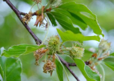 Beech-hêtre fleurs de bach