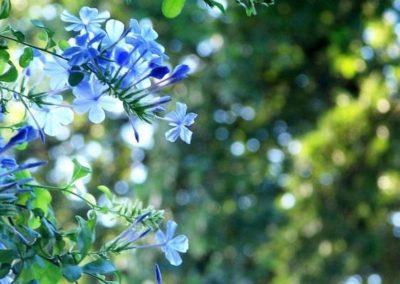 fleurs de Bach Cerato - Plumbago