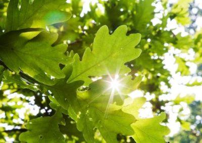Fleurs de Bach-Chêne- oak