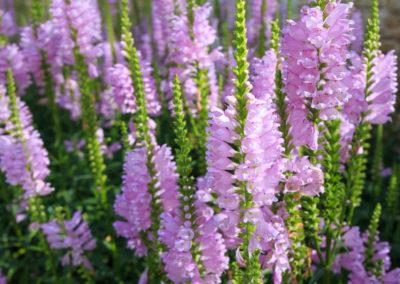 Heather Bruyere-fleur de bach