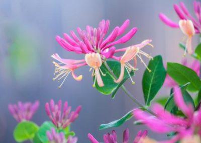 Honeysuckle Chèvrefeuille fleurs de bach