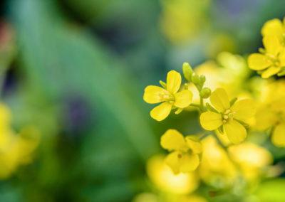 mustard moutarde fleurs de bach