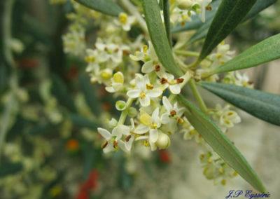 Olivier-Olive-fleurs-bach-rescue-elixir-floraux-stress-biologique-docteur