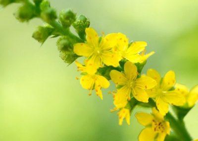 fleurs de Bach-agrimony-aigremoine