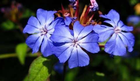 Cerato Fleurs de Bach Journal des Fleurs de Bach