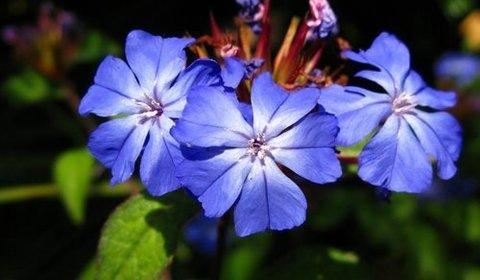 cerato Fleurs de Bach