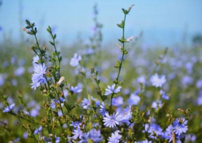 chicory-chicoree-fleurs de Bach