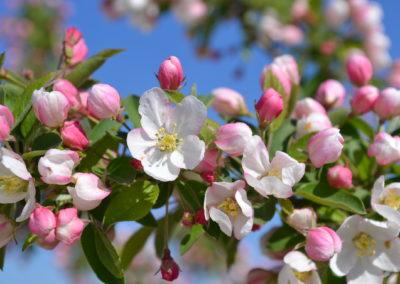 crab-apple pommier sauvage fleurs de bach