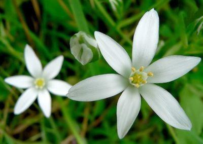 fleurs de bach-etoile-de-bethleem