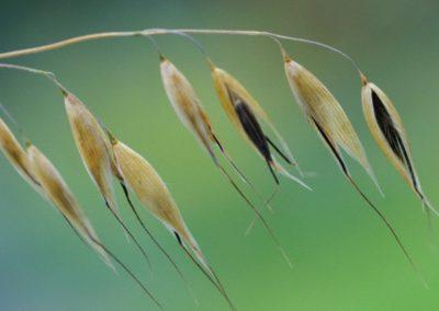 fleurs de bach wild oat - folle avoine