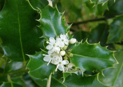 holly-en-fleur houx fleurs de bach