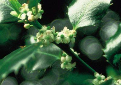 holly-houx-fleurs-de-bach