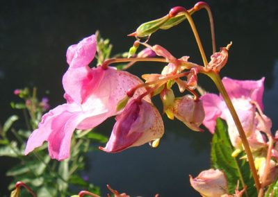 impatiens_remedyImage