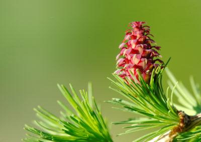 larch -meleze-fleurs de bach