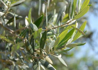 olive olivier fleurs de bach