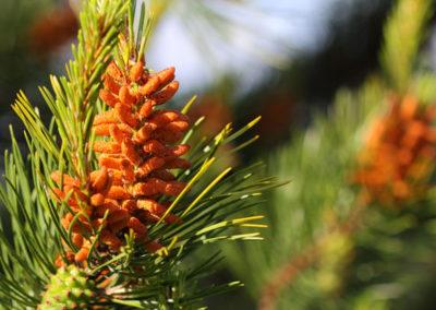 fleurs de Bach Pine- Pin
