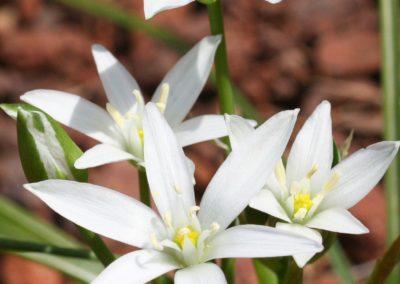 star-of-bethlehem-etoile-de-bethlehem-fleurs-de-bach (1)