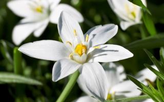 fleurs de bach-star-of-bethlehem-dame-de-onze-heures