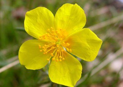 fleurs de Bach Rock Rose - Hélianthème