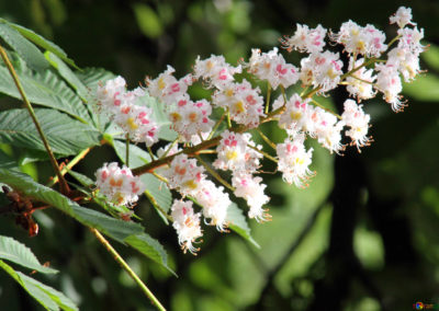 white- chestnut-fleurs de bach