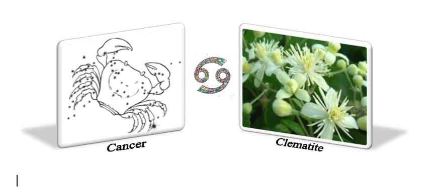Fleurs de Bach et Astrologie Clématite et le signe du Cancer